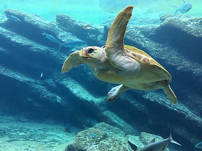 черепаха, мне?, Подводный, Голубой, Морская черепаха, Рептилия, плавать