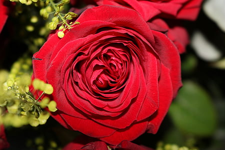Rose, rouge, Blossom, Bloom, fleurs roses, roses rouges, rose rouge