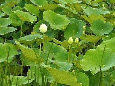 Lotus, Lotus lístia, bud, vodné rastliny, rybník