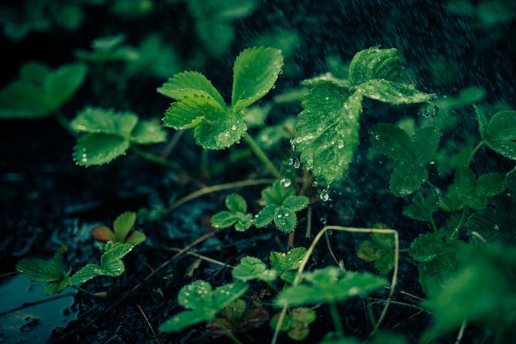 สีเขียว, พืช, ใบ, ธรรมชาติ, น้ำค้าง, ฝน, หยด