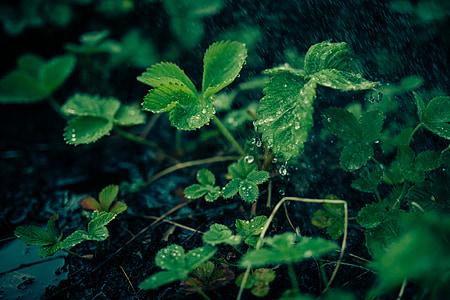 Zelená, rastliny, listy, Príroda, Rosy, dážď, kvapky