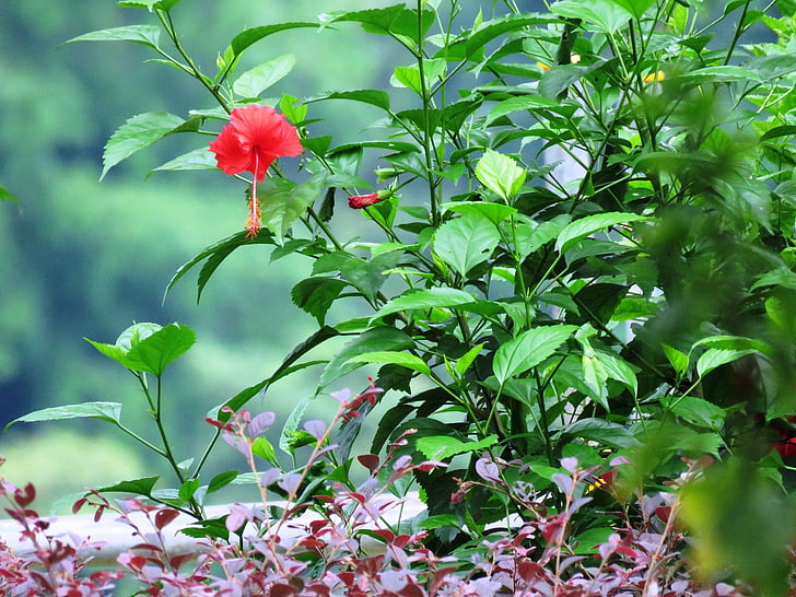 Kinrožė, vaistažolių, gėlė, augalų, lapų, sodas