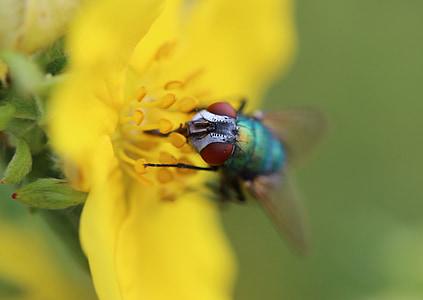 volar, insecte, Brachycera generalment, dípters, animals