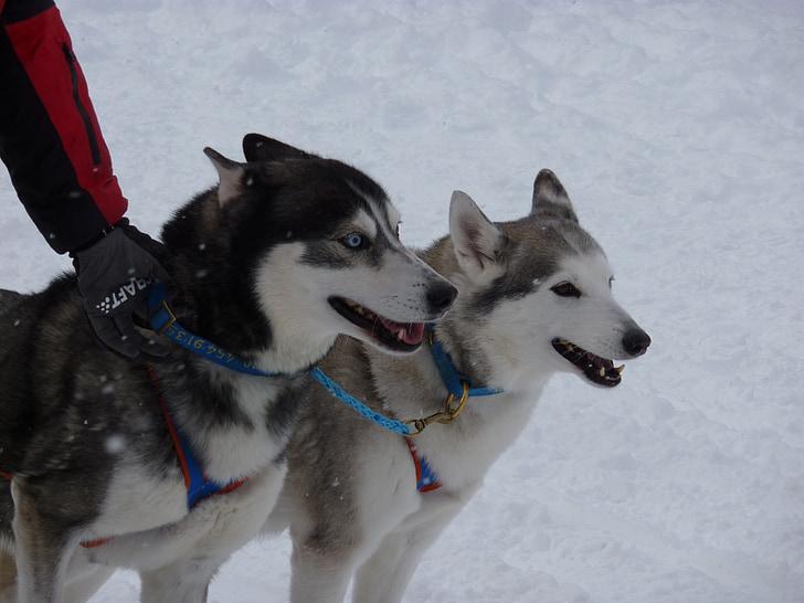 cursa de gossos en trineu, Huskies, gossos, gos, cursa, cursa de gossos, animal