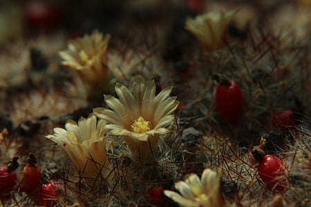 cactus, flowers, cactus flower, close