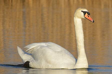 Svane, dyr, vandfugle, Sangsvanen, svømning