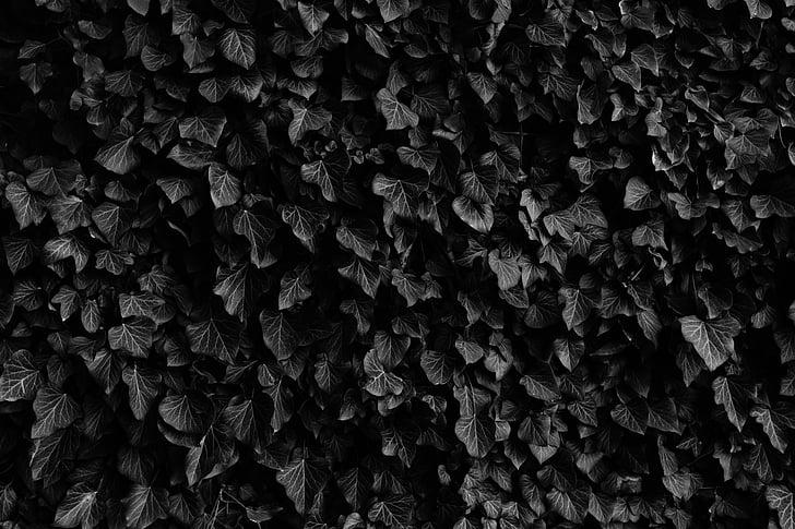 feuilles, veines, jardin, noir, blanc, noir et blanc, monochrome