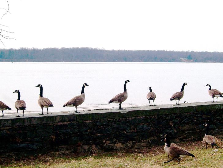Канада гъски, канадска гъска, гъски, река Потомак, водолюбивите птици, птици, животни