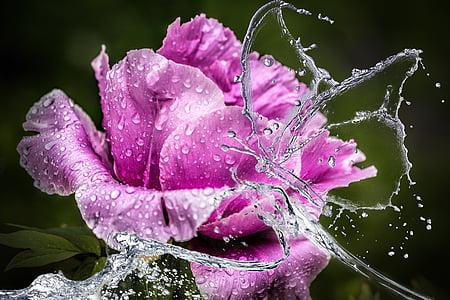peony, flower, blossom, bloom, water, rain, butterfly