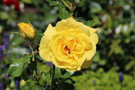lilled, roosid, punane roos, aias roosid, õis, Bloom, loodus