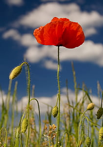 poppies, nature, red, blossom, bloom, summer, flower
