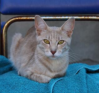 gato, ojos, azul, mascota, cara de gato, Mieze, ojos de gato