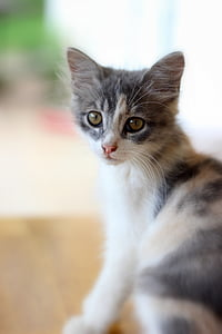 house cat, cat, pet, pet cat, animal, feline, cat's eyes