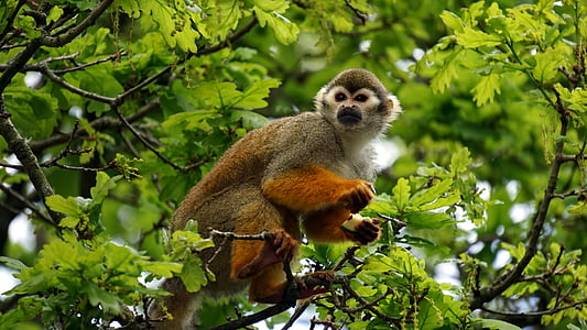 animal, mico, primats, Mona esquirol, arbre, salvatge, vida silvestre
