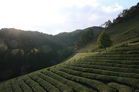 thee, landschap, groene thee plantage, boseong