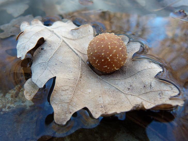 makro, liść, pasożyt, Dąb Nature, wody, wiosna, lasu