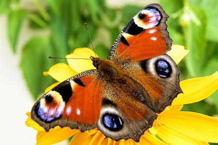 пеперуда, пеперуда, насекоми, крило, цветни, пеперуда - насекоми, природата