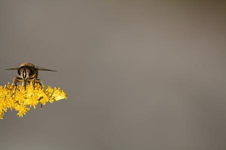 mosca de voltar, natura, insecte