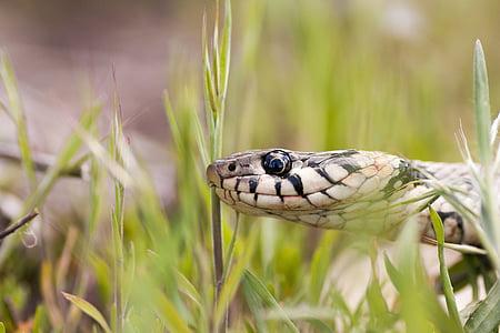 zmija, makronaredbe, gmaz, oko, jedna životinja, životinja životinje, životinje u divljini