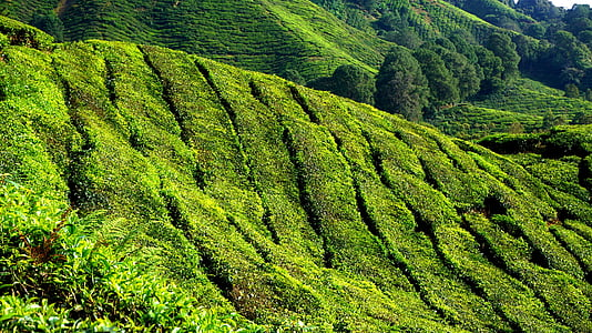 tea plantation, green, field, plantation, nature, summer, meadow