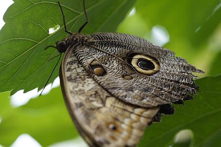 Pöllö perhonen, perhonen, Butterfly house, Mainaun, kukkasaarta, Tropical, eksoottinen