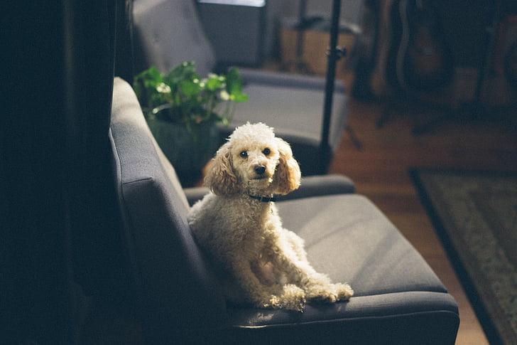 動物, かわいい, かわいい動物, 犬, ふわふわ, ペット, ペットの犬