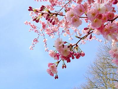 sakura, cherry, tree, pink, spring, japanese, season