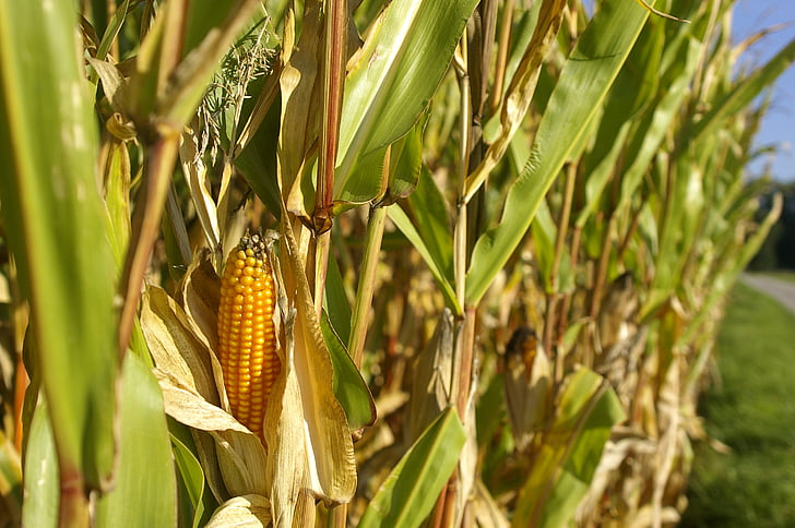 cornfield, corn, piston, nature, summer, cereals, green