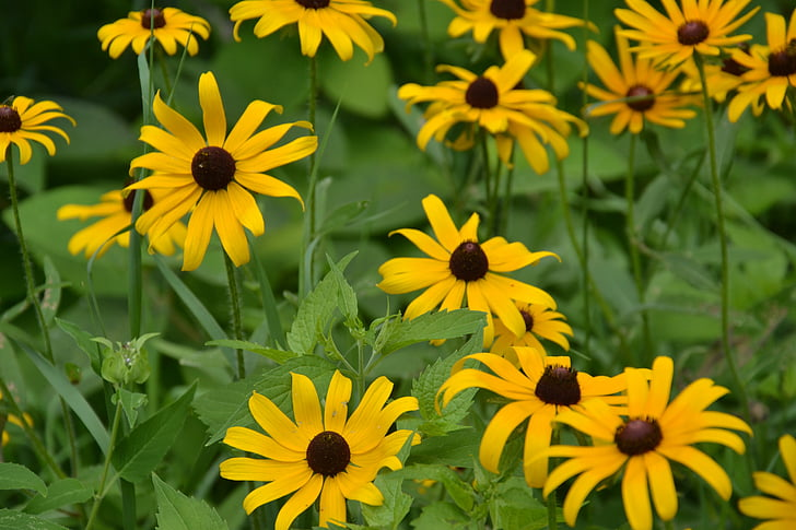 yellow daisy, daisy, wild flower, flowers, spring, meadow, daisies
