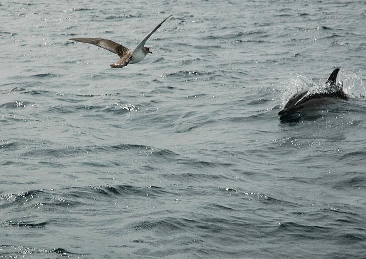 海鸥, 海豚, 海洋, 野生动物, 自然, 飞行, 游泳