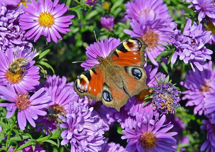 motýľ, páv motýľ, hmyzu, letné, Príroda, motýľ - hmyzu, zviera
