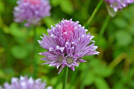 cebollino, flores, flores de cebollino, hierbas, verduras, púrpura, color lavanda