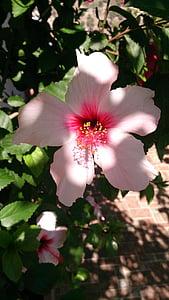 hibisc, flor, del Pacífic, primavera, pàl·lid, Rosa