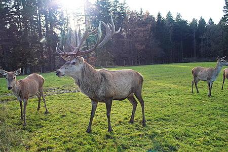 Hirsch, Wald, Natur, Damm wild, Wild, Scheu, Geweih-Träger