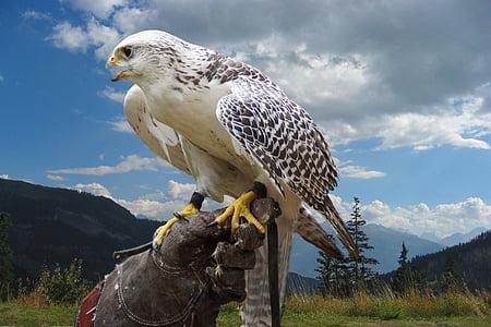 lintu, Raptor, muotokuva, lentää, Luonto, haukkametsästys, petolintu