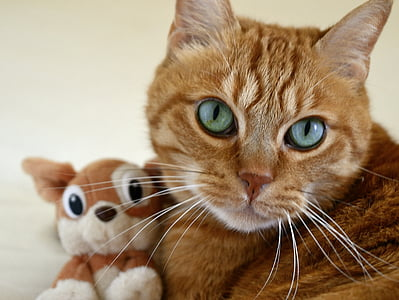 cat, small cat, cat's eye, feline, red cat, kitten, portrait of cat