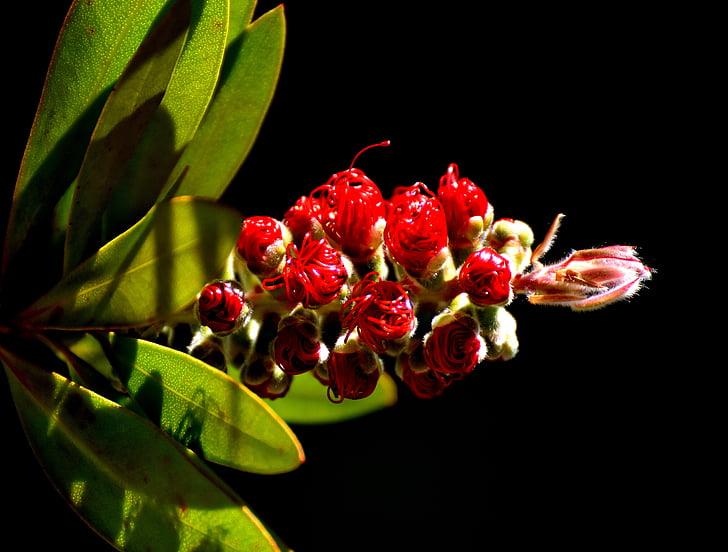 bottlebrush de llimona, callistemon citrinus, flor, planta, tancar, natura, vermell