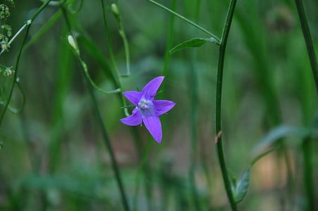 Blue star, kwiat, lasu, pole