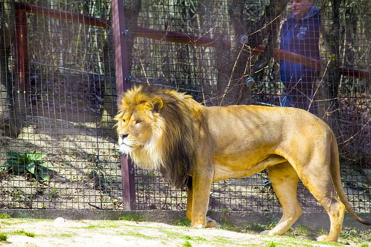 lion, zoo, predator