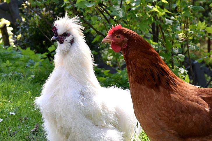 kogut, kura, kurczaka, wieś, ptak, pióro, zwierząt