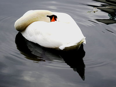 swan, pond, water, bird, nature, swan pond