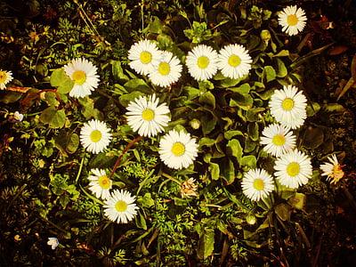 daisy, nature, green field, flower, summer, plant, yellow