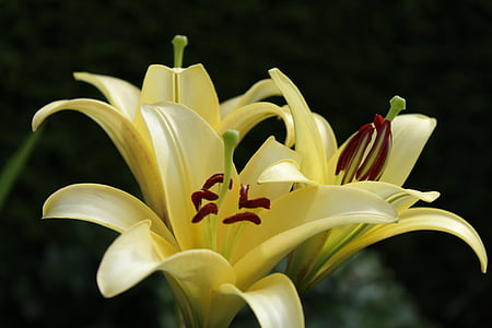 lliri, groc, flors, jardí, natura, segell de flors, tancar