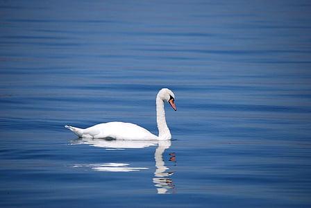 gulbis, putns, dzīvnieku, ūdens, ezers, balta, skaists