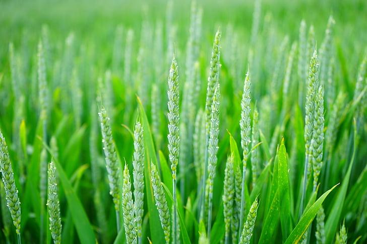 nông nghiệp, mờ, cận cảnh, đất trồng trọt, cây trồng, Trang trại, nông nghiệp