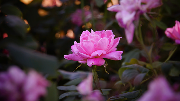 en rose, Romance, skønhed, aroma, Pink, Bloom