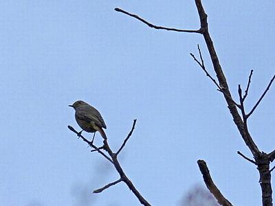 robin, bird, autumn, branch