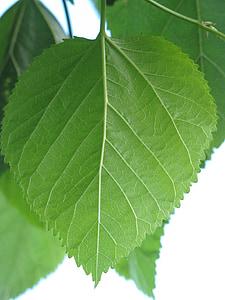 Leaf, Zelená, Príroda