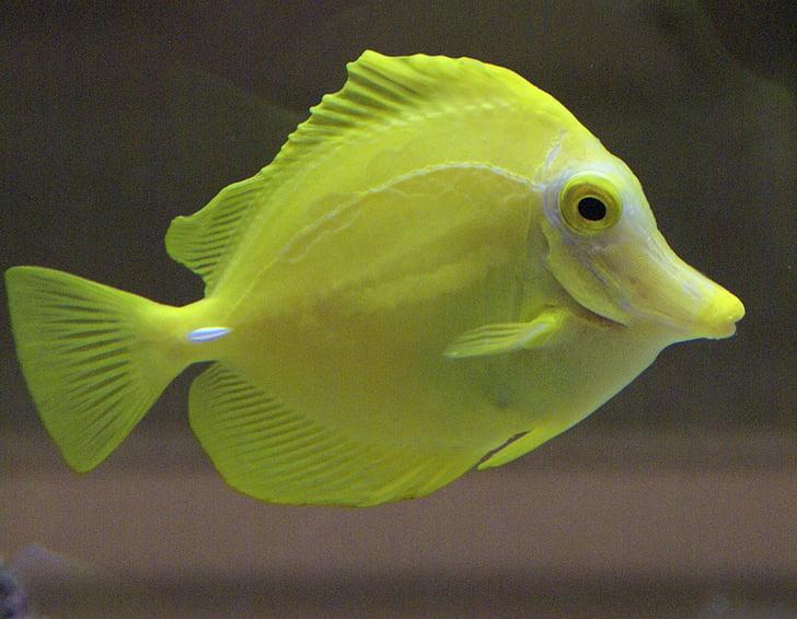 Рыба, желтый, Аквариум, Морская жизнь, Водное существо, тропический, экзотические