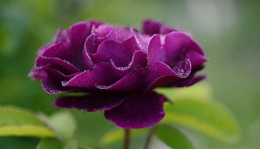 τριαντάφυλλο, λουλούδι, αυξήθηκαν οι ανθίσεις, τριαντάφυλλα, Αγάπη, Βουργουνδία, φόντο